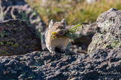 August 9, 2015 - An American Pika busy building its nest in RMNP. (Tony's Takes)