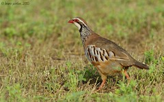 Red-legged Partridge, Perdrix rouge (Alectoris rufa) - Gola del Ter, SPAIN - 2015-08-08 (brun@x - Africa: birds & more) Tags: wild bird nature spain europe european wildlife sigma uccelli catalunya vgel espagne bruno oiseau gamebird birdwatcher birdlife redlegged redleggedpartridge alectorisrufa portier phasianidae alectoris   rufa ornithologie  ornitho goladelter vol  perdrixrouge d7000 wildevogel brunoportier