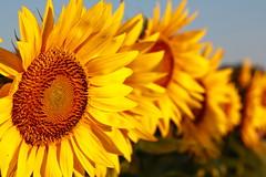 Kansas State Flower (KC Mike Day) Tags: sun plant macro field closeup sunrise state farm kansas