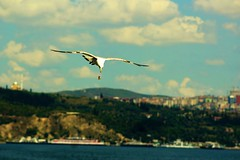 Piece of Bagel (SinanAyhan) Tags: bird nature birds animal animals colorful natural seagull bagel seasky