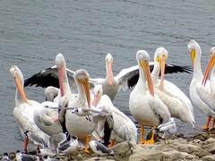 Pelicans_00816 (mdarcade--DeAnne) Tags: pelicans birds birdwatcher thebestofmimamorsgroups platinumpeaceaward flickrsportal allnaturesparadise infinitexposure deannerosen