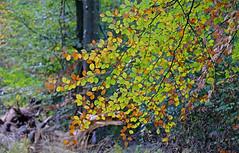 Splash of colour (Wildlife Online) Tags: autumn color colour season newforest beech landscapephotography autumncolour treecolour beechleaf lightthroughleaves britishlandscape britishautumn colourfultree colourfulleaf newforestautumn marcbaldwin wildlifeonline autumn2015 colourchangeleaves autumnalbeechleaves