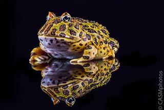 Argentine horned frog (Ceratophrys ornata)