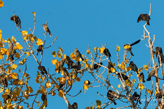 October 24, 2015 - Starlings and Blackbirds in Adams County. (Tony's Takes)