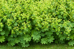 Alchemilla xanthochlora (Alan Buckingham) Tags: flower yellow wildflower essex ladysmantle bethchattogarden alchemillaxanthochlora