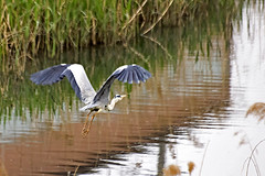 Grey Heron in Flight (Johnnie Shene Photography(Thanks, 1Million+ Views)) Tags: wild people colour macro reflection bird heron nature animal horizontal canon lens photography eos rebel grey one spread jump wings focus scenery kiss stream view natural image zoom outdoor no wildlife rear watching birding gray scenic sigma tranquility scene korea apo korean single theme modified midair limbs flapping 70300mm viewpoint takeoff egret flap tranquil adjustment freshness dg herons foreground 456 elegance t3i x5 70300 behaviour  fragility 600d f456