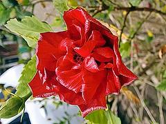 Hibiscus Rosa-Sinensis - Hibisco - Flora - Florianpolis-SC - Fotografada por Regis Silbar em 11-11-2015 (Regis Silbar) Tags: florianpolis flor hibisco santacatarina hibiscusrosasinensis regis florvermelha silbar regissilbar