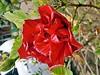 Hibiscus Rosa-Sinensis - Hibisco - Flora - Florianópolis-SC - Fotografada por Regis Silbar em 11-11-2015 (Regis Silbar) Tags: florianópolis flor hibisco santacatarina hibiscusrosasinensis regis florvermelha silbar regissilbar