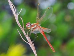 rojo sobre verdes (Santi BF) Tags: macro closeup bug dragonfly liblula odonata anisoptera bich sympetrum sympetrumfonscolombii libllula aproximacin odonato anisptero