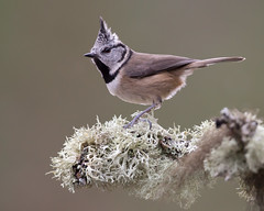 Crested Tit (Markp33) Tags: