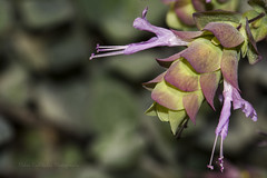 Cretan dittany (Nikos Roditakis) Tags: cretan dittany crete origanum dictamnus lamiaceae flora wild plants greece europe greek nikos roditakis nikon d5200 macro flower tamron af sp 90mm f28 di vc usd pharmakeutical