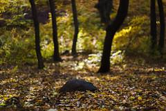 DSC00681 (gabriella.lavati) Tags: sony a6000 schneider kreuznach xenon edixareflexversion m42 50mmf19 manualfocus manual mflens nature spring color forest wood leaves bokeh bokehdream