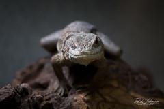 Madagascar Collard Lizard (ToddLahman) Tags: madagascar collard lizard madagascarcollardlizard lllreptileescondido escondido grandave canon7dmkii canon tamron18270 closeup lowlight eyelock