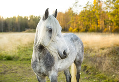 Today's Silver (Nilamalin91) Tags: horse pony connemara autumn ohana ponny hst finland