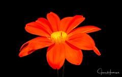 Autumn Orange (jhambright52) Tags: macroflowers orangemacro macro doublefantasy