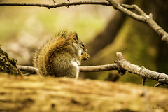 cureuil (yveshebert) Tags: mammifres cureuil wildlife chelsea gatineau mammals cureuil cureuil2