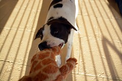 DSC_0271-1 (ScootaCoota Photography) Tags: dog pet animal border coliie labrador mutt rescue adopt dont shop outdoors tug play toy giraffe