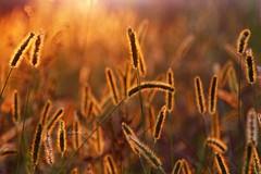 Splendori autunnali (BlueMaury) Tags: gold grass erba luce bokeh sole tramonto astratto spighe racccolto allaperto controluce oro arancione
