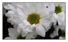 Pretty Face (Audrey A Jackson) Tags: canon450 daisy nature colour white yellow petals stamens macro closeup
