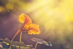 October colors (RoCafe) Tags: garden flower tropaeolum nature outdoor sunlight orange yellow autumn light sun sunny sunshine macro nikkormicro105f28 nikond600 bokeh