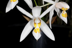 Coelogyne punctulata 2016-10-10 01 (JVinOZ) Tags: orchidspecies orchid coelogyne