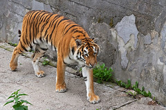 Kaliningrad_Zoo_2011_06_50 (Фото Москвы Moscow-Live.ru) Tags: тигр