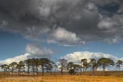 Gathering Storm (Shuggie!!) Tags: afternoonlight clouds grasses hdr kippenmuir landscape pine scotland skyscape stirlingshire trees zenfolio karl williams karlwilliams