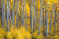 (bpark_42) Tags: sony landscape fall color aspens autumn vivid trees rx10 rx10m3 colorado