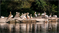 Man trifft sich  / Bird Meeting (ludwigrudolf232) Tags: zoo vögel pelikane