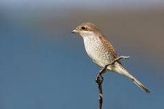 Red-backed Shrike (redmanian) Tags: redbacked shrike