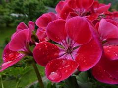 Geranium (anemone54) Tags: geranie geranium rot red bloom blte green grn raindrops regentropfen plargonie zonalehybride