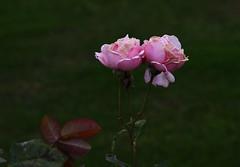DSC_3196 (PeaTJay) Tags: nikond750 reading lowerearley berkshire macro micro closeups gardens outdoors nature flora fauna plants flowers rose roses rosebuds