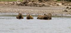 Capybara3 (tau247) Tags: amazonianrainforest capybara hydrochoerushydrochaeris manunationalpark peru southamerica bathing group mammal nature rodent wildlife