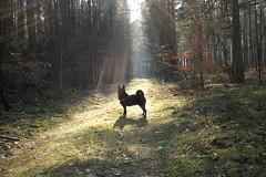 Enlightend (danieloss86) Tags: enlightend dog black forest nature hund wald sunshine sun sonnenschein sunbeam sonnenstrahlen