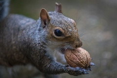 Squirrel and Walnut (Linton Snapper) Tags: squirrel walnut canon lintonsnapper