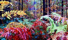 Kolory (maciey24) Tags: kolory colors forest las trees drzewa jesień autumn fall paproć colours colorful fern kolorowo kolorowe rośliny paprocie