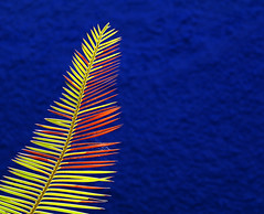Vibrant Plume (studioferullo) Tags: abstract art beauty bright city colors colorful blue yellow orange contrast decay design detail depthoffield downtown frond garden gold leaf light minimalism nature natural outdoor outdoors outside palm park plant plants pattern organicpattern pretty profile scene study sunny sunlight sunshine texture tone tones world botanical tucson arizona
