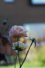 DSC_2110 (PeaTJay) Tags: nikond70s reading lowerearley berkshire macro micro closeups gardens outdoors nature winter frost flora fauna plants flowers rose roses rosebuds