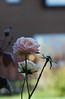 DSC_2110 (PeaTJay) Tags: nikond70s reading lowerearley berkshire macro micro closeups gardens outdoors nature winter frost flora fauna plants flowers rose roses rosebuds
