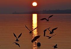 Les oiseaux noirs (Diegojack) Tags: préverenges oiseaux plage coucher couleurs reflets brillance onbres silhouettes mouettes vol