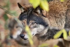 Wolves (stefan.runesson) Tags: wolf skansen stockholm 90250 e3 olympus