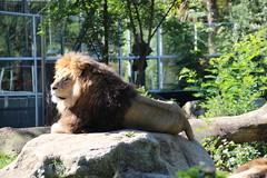 Lwe (@ FS Images) Tags: lwe langemhne liegend rudelfhrer aufstein canon eos 600d outdoor landschaft natur raubkatzen zoo tiere stein sonne mnchen hellabrunn