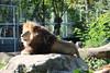 Löwe (@ FS Images) Tags: löwe langemähne liegend rudelführer aufstein canon eos 600d outdoor landschaft natur raubkatzen zoo tiere stein sonne münchen hellabrunn
