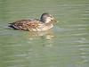 Hembra de Azulón (Anas platyrhynchos) (10) (eb3alfmiguel) Tags: aves acuaticas anade azulon hembra
