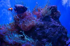 SEA Life Sydney Aquarium (Merrillie) Tags: anemone nemo clownanemonefish darlingharbour tropicalfish seaanemone aquarium fish sealife water touristattraction sydney fauna darling animal angelfish