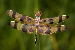 Halloween Pennant (jciv) Tags: halloween dragonfly file:name=dsc02739 celithemiseponina halloweenpennant macro insect bug