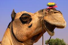 Miss Pushkar (TablinumCarlson) Tags: india indien pushkar पुष्कर puṣkar rajasthan desert thar wüste ajmer fair camel kamel market markt kamelmarkt leica dlux dlux2 flower blume schmuck makeup eyeliner miss model