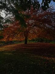 Les Feuilles Mortes (Bricheno) Tags: dawnredwood metasequoiaglyptostroboides scotland escocia schottland cosse scozia esccia szkocja scoia    glasgow park botanicgardens bricheno tree