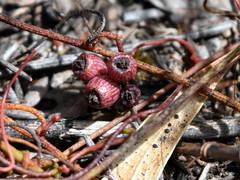 Fruit of Cassytha pedicellosa (dracophylla) Tags: winifredcurtisscamanderreserve tasmania cassythapedicellosa lauraceae