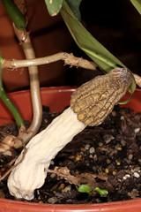 Morchella species 2016-09-12 02 (JVinOZ) Tags: fungus stinkhorn